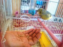 Vogel kanariengelb lizenzfreie stockfotografie