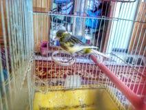 Vogel kanariengelb lizenzfreie stockfotos
