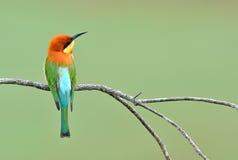 Vogel (kastanje-Geleide bij-Eters), Thailand Royalty-vrije Stock Afbeelding