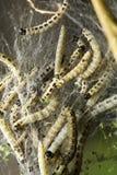 Vogel-kers mottenlarven stock afbeelding