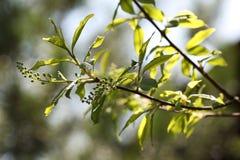 Vogel-kers takjes Eerste de lentegreens, bokeh stock afbeelding