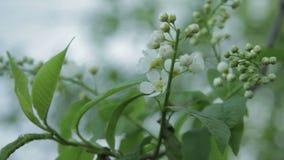 Vogel-Kirschblumen-Abschluss oben stock video footage