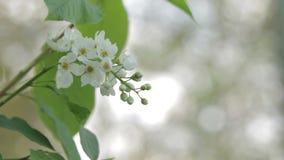 Vogel-Kirschblumen-Abschluss oben stock footage