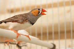 Vogel in kooi Royalty-vrije Stock Afbeelding