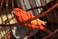 Vogel in kooi Royalty-vrije Stock Fotografie