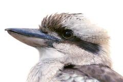 Vogel, Kookaburra Lizenzfreies Stockfoto