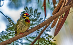 Vogel, Koperslager Barbet op een boomtak die wordt neergestreken Stock Afbeelding