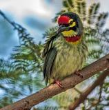 Vogel, Koperslager Barbet op een boomtak die wordt neergestreken Royalty-vrije Stock Foto