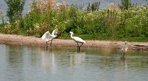 Vogel Lepelaar Lizenzfreies Stockfoto