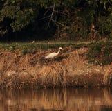 Vogel levend op zijmeer Royalty-vrije Stock Foto