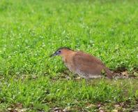 Vogel, Maleise Nachtreiger royalty-vrije stock afbeelding