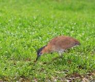 Vogel, Maleise Nachtreiger Stock Fotografie