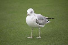 Vogel - Meeuw Royalty-vrije Stock Foto's