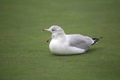 Vogel - Meeuw Royalty-vrije Stock Foto