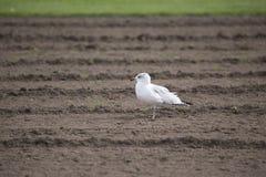 Vogel - Meeuw Stock Fotografie