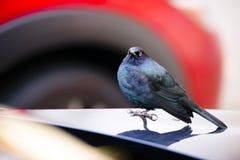 Vogel met blauwe veren op autokap Royalty-vrije Stock Foto