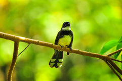 Vogel met een groene achtergrond. Royalty-vrije Stock Fotografie