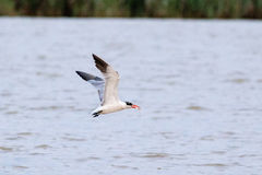 Vogel met een vis Stock Foto