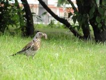 Vogel met een Worm stock afbeeldingen