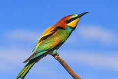 Vogel met gekleurde veren Royalty-vrije Stock Afbeelding