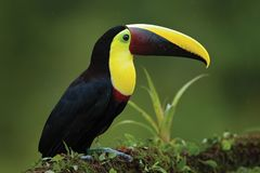 Vogel met grote rekening Regenachtig seizoen in Amerika Kastanje-Mandibled toekanzitting op tak in tropische regen met groene wil stock foto