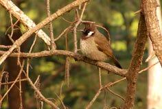 Vogel met het bosje Stock Afbeelding