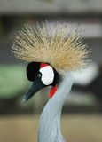 Vogel met Kroon Royalty-vrije Stock Fotografie