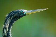 Vogel met lange bek of rekening Royalty-vrije Stock Fotografie