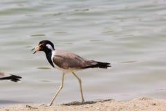Vogel met open piek in de kust van meer Doubai, de V.A.E op 28 Juni 2017 Royalty-vrije Stock Foto's