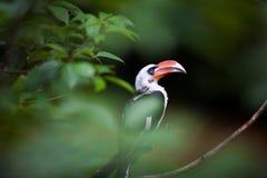 Vogel met rode bek Stock Afbeeldingen