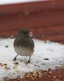 Vogel met sneeuw op beek royalty-vrije stock foto's