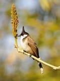 Vogel met vreemd kapsel Stock Foto