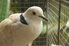 Vogel met zwarte streep Royalty-vrije Stock Afbeeldingen