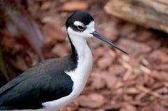Vogel mit dem langen Schnabel Lizenzfreies Stockbild