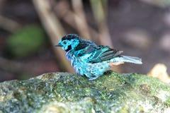 Vogel mit den blauen Federn, die auf Stein sitzen Lizenzfreies Stockfoto