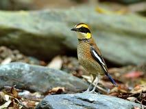 Vogel (mit einem Band versehenes Pitta), Thailand Stockfotos