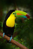 Vogel mit großem Rechnung Fischertukan, Ramphastos-sulfuratus, sitzend auf der Niederlassung im Wald, Mexiko lizenzfreie stockbilder