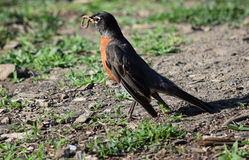 Vogel mit Wurm Stockfotografie