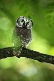 Vogel nördliches omawl, Aegolius-funereus, sitzend auf dem Baumast im grünen Waldhintergrund Stockbilder