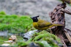 Vogel nannte Bulbul Schwarz-mit Haube in der Natur stockfoto