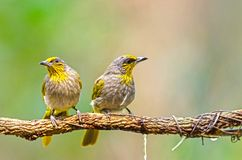 Vogel nannte Streifen-throated Bulbul in der Natur stockfoto