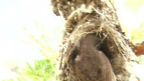 Vogel in Nest stock video