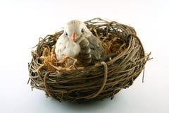 Vogel in Nest Stock Afbeelding