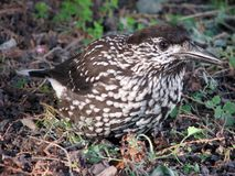 Vogel Nucifraga caryocatactes op zoek naar voedsel stock afbeelding