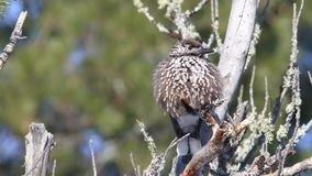 Vogel-Nussknacker im Winter unter den Kiefernnadeln der Zeder in Sibirien stock video