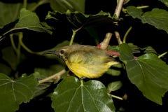 Vogel-Olive-unterstützter Sunbird-Schlaf lizenzfreie stockfotos