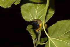 Vogel-Olive-unterstützter Sunbird-Schlaf lizenzfreies stockbild