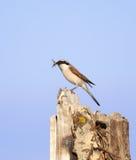 Vogel op de stomp Royalty-vrije Stock Fotografie