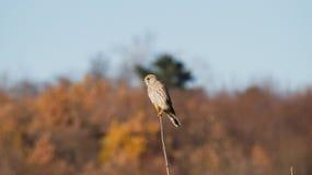 Vogel op de tak Stock Afbeelding