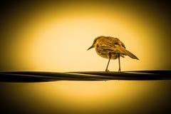 Vogel op Draad stock afbeeldingen